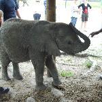 Knysna baby elephant