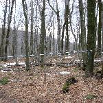 Maple Tree Sap Lines