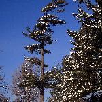 Wind Swept Tree in Hogs Back Park