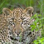 A leaopard at Londolozi