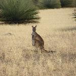 Kangaroo view from the veranda