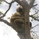 Koala in the tree outside the cabin
