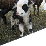 """""""Baby cow"""" from our trip"""