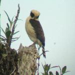 A laughing falcon spotted on our rainforest hike