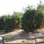 Closer view of the citrus groves at the Citrus park