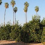 Another close view of the citrus groves at the Callifornia Citrus Park