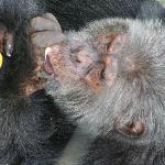Each Chimp Looks Different