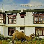 The baktrian camel