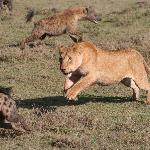 lioness chasing off hyena that got too close to her lunch