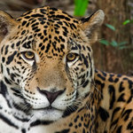 Junior the Jaguar at Belize Zoo