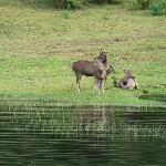 Sambar deer at lake shore