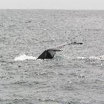 Humpback on the dive