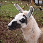 Jane the Llama