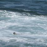 A seal peeking at me in the ocean by Yachats