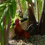 Jack the Duval Inn rooster