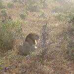abbiamo visto anche il leone