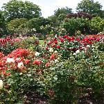 Rose garden at Mona Vale