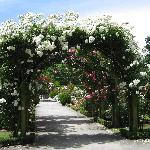 Rose covered arch at Christchurch botanical gardens