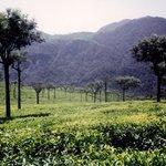tea garden at ooty