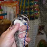 Sugar Glider seen inside the Smokies Flea Market