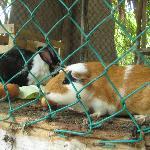 Pet Bunnies and Guinea Pig