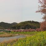 下賀茂の河津桜