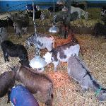 Plenty of donkeys in the barn
