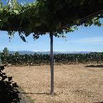 Vineyard next to The Old Manse