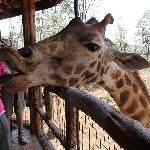 Kissing Giraffes is great