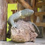 Voilà pourquoi las iguanas...