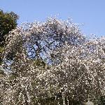 梅の写真その2