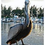 Pelican at La Guancha, Ponce PR