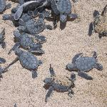 Baby turtles hatching and heading to the water.This was right next to the beach umbrellas,next t