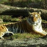 Tiger Mountain - Bronx Zoo