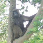 Baboons are plentiful in the reserve