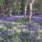 Bluebells at Penbeili Mawr