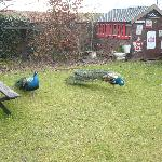 Peacocks in garden