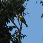 Yellow hooded warbler?