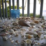 Shells bounty near Lahaina Inn, FL