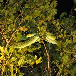 Boomslang - the rangers spotted even the smallest animals on our night drives