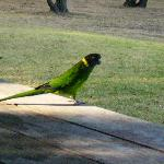 Ring-necked Parrot outside the cottage