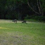 Kangaroos on the lawn