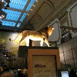 The African Mammals section of the Hall of Mammals.