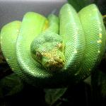 A tree python is displayed at the Zoo.