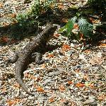 Golden tegu lizard at Asa Wright Center