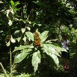 Giant wild ginger 6 ft. tall at Asa Wright Center rainforest