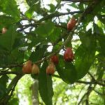 Pomerac fruit growing wild in rainforest at Asa Wright Center