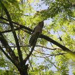 Giant potoo asleep in top limb of jacaranda tree, Asa Wright Center