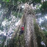 Arbre géant de l'Amazonie