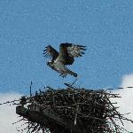 Osprey nesting nearby